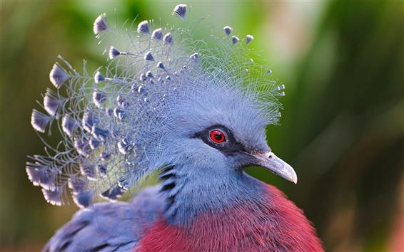 Papéis de Parede Victoria coroou o pombo, penas azuis
