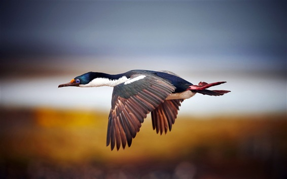 Wallpaper Wild duck flying in the sky
