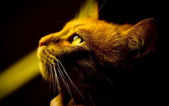 배경 화면 갈색 고양이의 관심, 얼굴 클로즈업, 노란색 눈