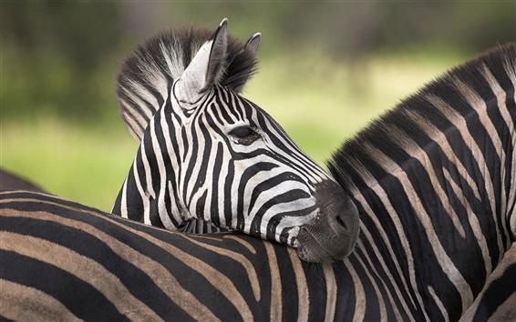 Papéis de Parede África zebra close-up