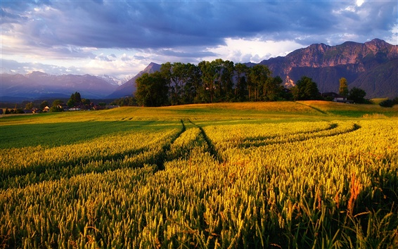 Wallpaper Alps, golden wheat fields, trees and cloudy sky