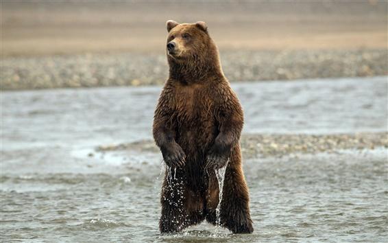 壁纸 站在水中的熊
