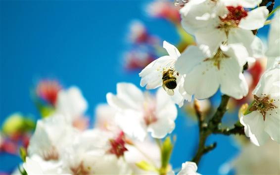 Fond d'écran Bee et blanches comme neige fleurs de poiriers