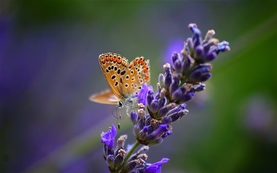 Wallpaper Butterfly with lavender flowers, nature macro