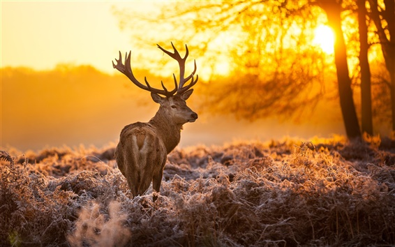 Papéis de Parede Cervo sob o pôr do sol grama floresta, quente