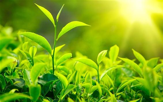 Wallpaper Fresh green tea leaves, sunlight