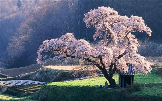 Hintergrundbilder Japanischen Landschaft, die Kirschblüte