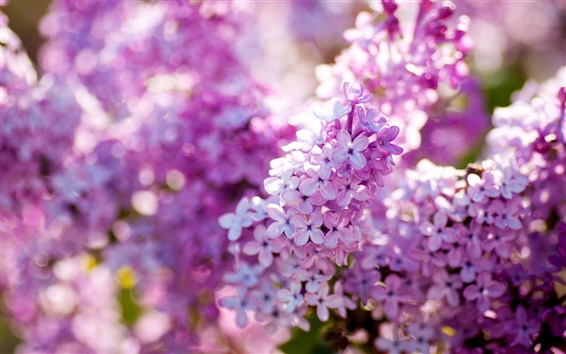 Wallpaper Lilac spring bloom, flowers close-up