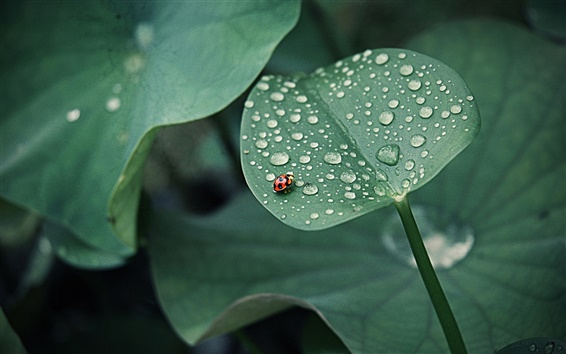 Wallpaper Lotus leaf, ladybug, drops of water, insects, green
