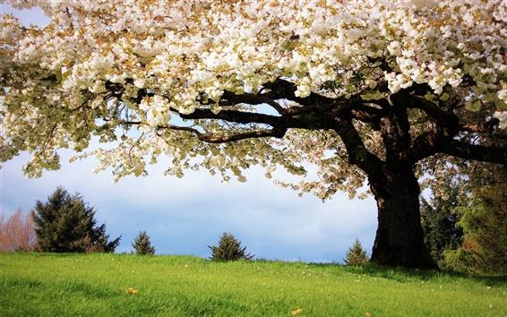 배경 화면 자연 봄, 벚꽃 나무, 만개 한 흰 벚꽃