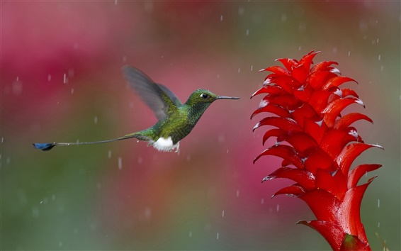 Wallpaper Rainy day, hummingbird gather nectar, red flower