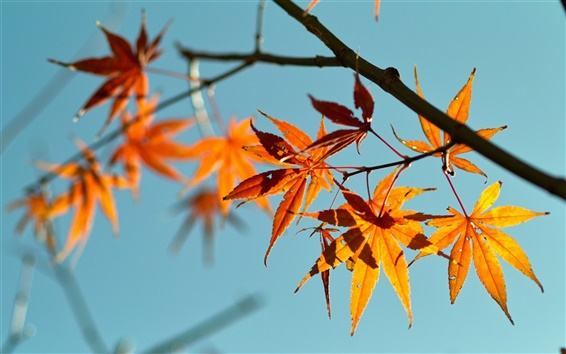 Wallpaper Red maple leaves, blue sky background