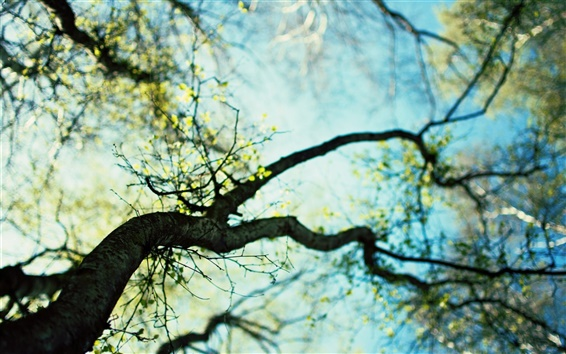 Wallpaper Spring tree germination, the sky hazy background