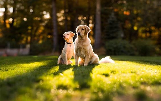 Papéis de Parede Dois cães no sol sobre a grama