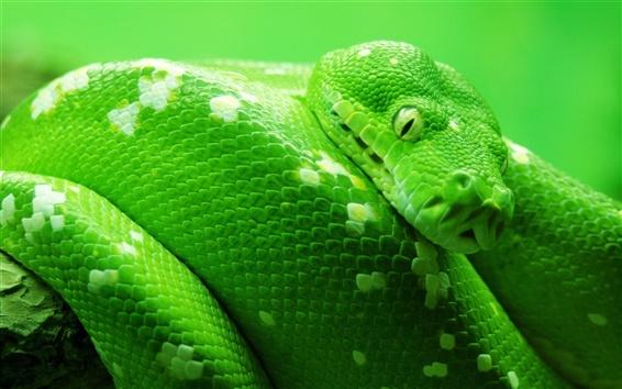 Fondos de pantalla Wildlife, serpiente verde