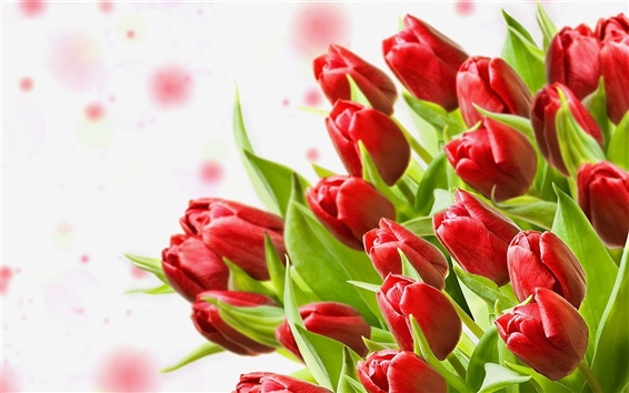 Wallpaper A bouquet of red tulips, white background
