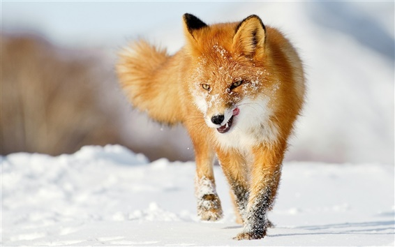 Wallpaper A fox in the winter snow