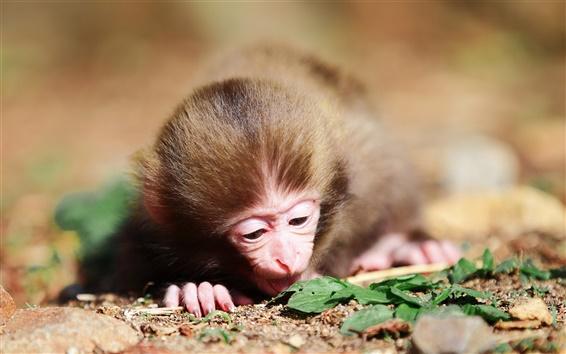 Обои Маленькая обезьянка на земле съемки крупным планом