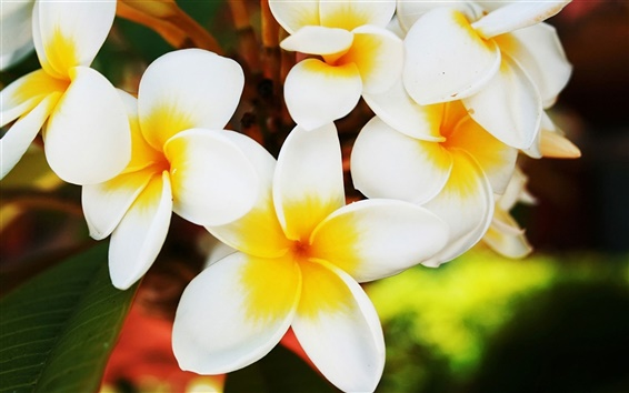 Wallpaper Blooming frangipani flowers close-up
