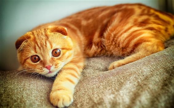 Wallpaper Cat portrait, Scottish Fold, yellow color