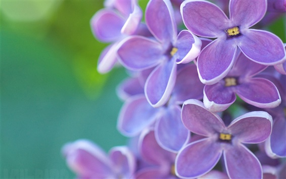 Wallpaper Lilac flowers macro, emerald green background, spring