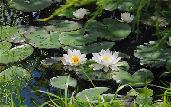 Wallpaper Pond of water lilies in full bloom