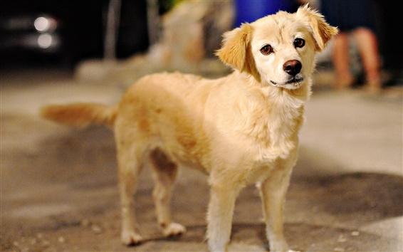 Fond d'écran Petite brune du chien, la photographie rapprochée