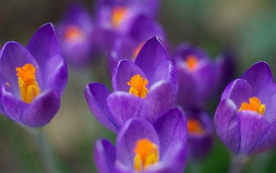 Обои Весенние цветы крупным планом, фиолетовые крокусы