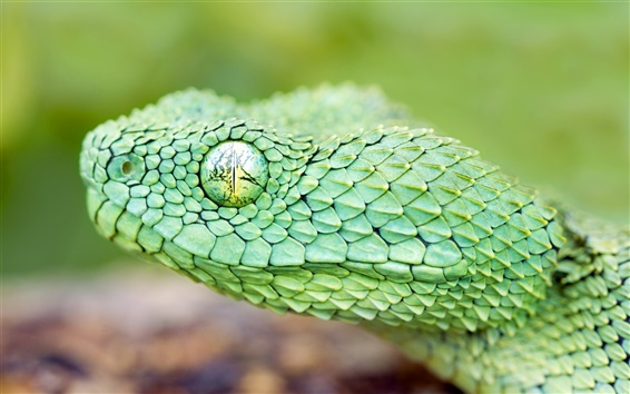 Wallpaper The green African tree viper