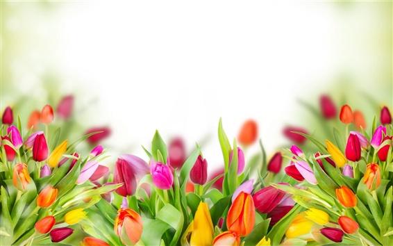 Papéis de Parede A marinha tulipa, fundo brilho