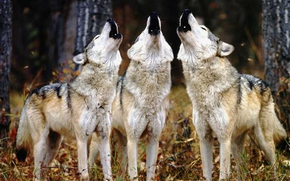 Fondos de pantalla Tres lobos aúllan