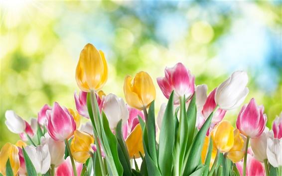Обои Тюльпан цветок крупным планом, белые, желтые, фиолетовые цветы, размытым фоном
