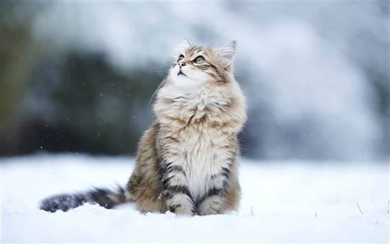 배경 화면 겨울 눈 고양이, 눈은 멀리보고