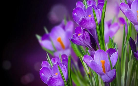 Fond d'écran Crocus fleurs violettes macro photographie