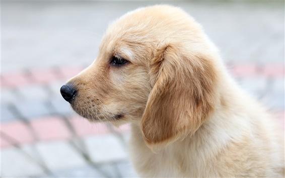 Papéis de Parede Fotos do cão, laterais retriever close-up
