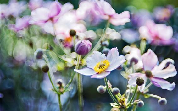 Wallpaper Flowers macro, anemones blurring focus photo