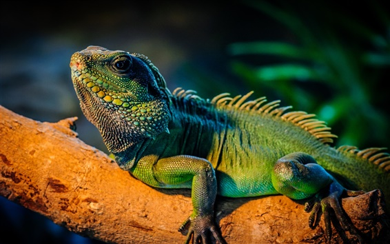Wallpaper Green iguana in the tree branch