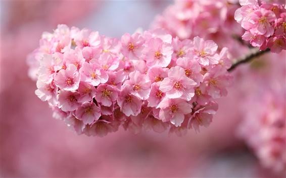 Fondos de pantalla Japón sakura, ramas, flores, pétalos de rosa, primer plano, fondo borroso