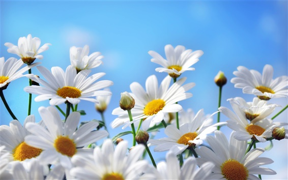 Wallpaper Nature flowers photography, daisies, petals, blue sky