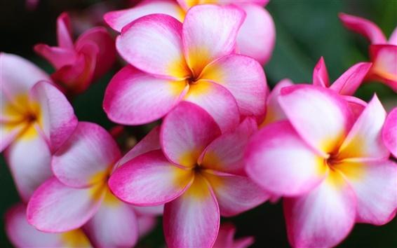 壁紙 クローズアップピンクの花、プルメリアの花