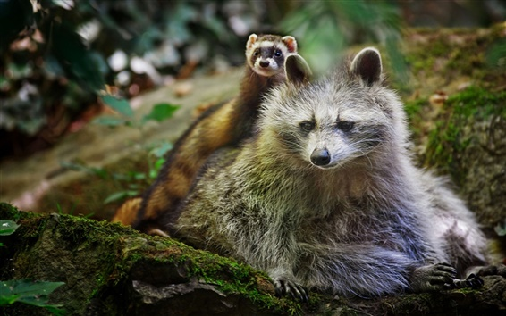 Wallpaper Raccoon with ferret, they are friends