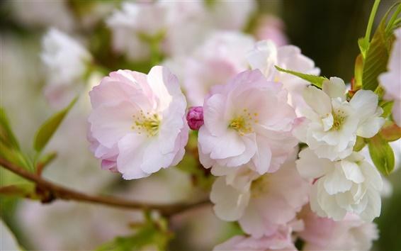 Papéis de Parede Sakura bloom, pétalas de flores, primavera, macro fotografia
