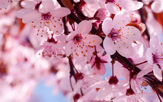 Wallpaper Spring flowers in full bloom, pink cherry blossoms