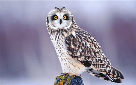 Wallpaper Winter owl eyes close-up, blurred background