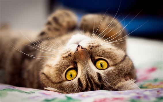Wallpaper Yellow eyes cat lying on bed