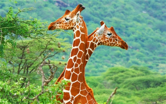 Wallpaper Africa giraffe close-up