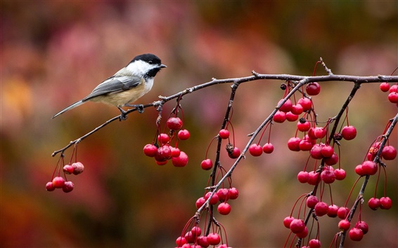 Wallpaper Birds close-up, chickadee, twig and berries, autumn