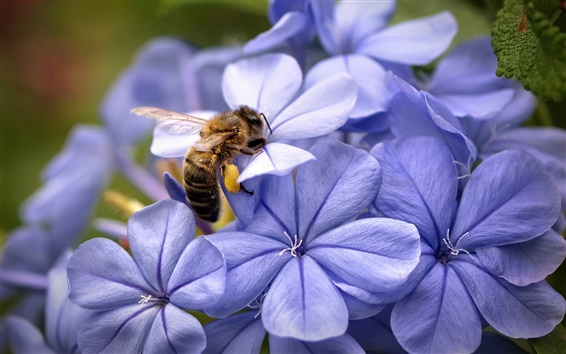 Wallpaper Blue flowers and bee close-up