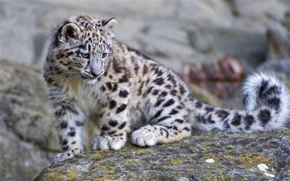 Papéis de Parede Bonito leopardo da neve do bebê