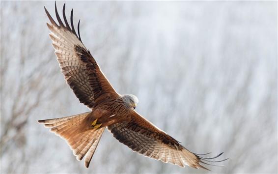 Wallpaper Eagle open wings freedom flying